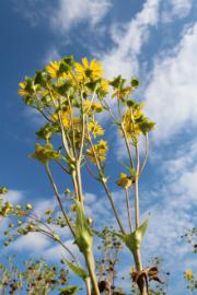Die Durchwachsene Silphie kann als Dauerkultur 15 bis 20 Jahre genutzt werden.