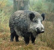 Verwüstet ein Wildschwein einen bayerischen Acker, kann der geschädigte Landwirt das jetzt auf einer Online-Plattform dokumentieren.