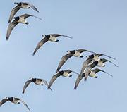 Ein Gänsemelder soll in Schleswig-Holstein dazu beitragen, durch die Wasservögel verursachte Fraßschäden auf landwirtschaftlichen Flächen zu verringern.