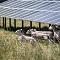 So wie im baden-württembergischen Zwiefaltendorf sollen später auch rund um die EnBW-Solargroßprojekte in Brandenburg Schafe weiden.